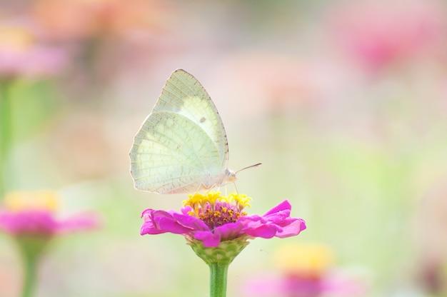 Nahaufnahmeschmetterling auf rosa blume, schöner monarch in der natur
