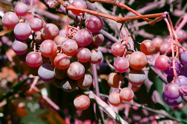 Nahaufnahmeschnapshot des brunchs der frischen roten und purpurroten trauben im garten