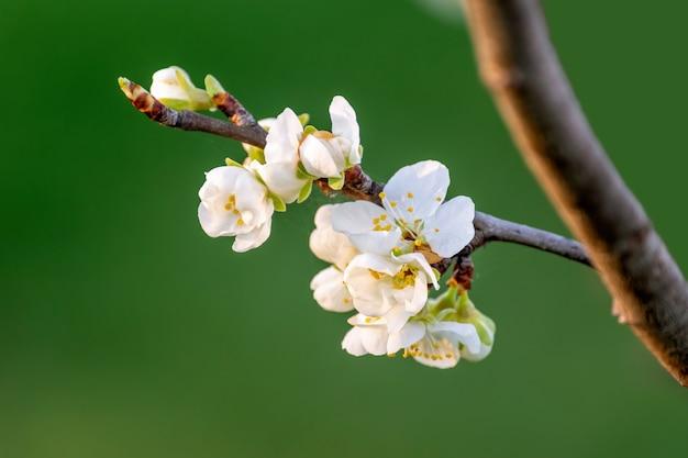 Nahaufnahmeschuss des astes mit weißen blumen, die auf unscharfem naturhintergrund blühen