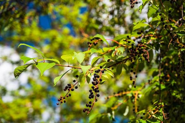 Nahaufnahmeschuss des baumes der vogelkirsche (prunus padus) mit reifen beeren in den sonnenstrahlen