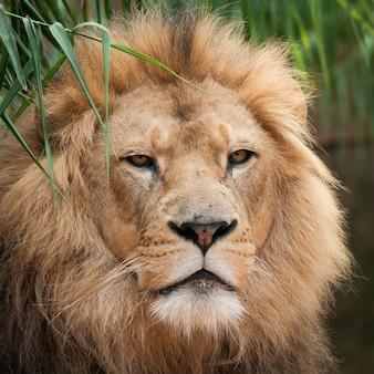 Nahaufnahmeschuss des kopfes eines schönen löwen
