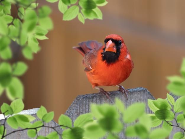 Nahaufnahmeschuss des männlichen kardinals, der auf einem hölzernen zaun thront
