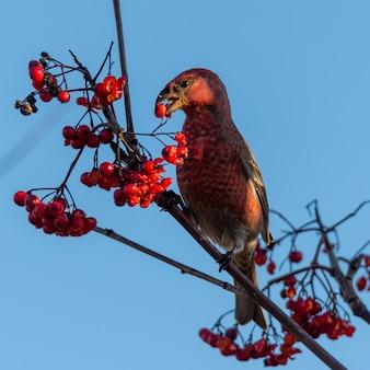 Nahaufnahmeschuss eines roten kreuzschnabelvogels, der ebereschenbeeren auf einem baum isst