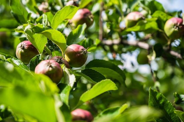 Nahaufnahmeschuss von halbreifen äpfeln auf einem zweig in einem garten