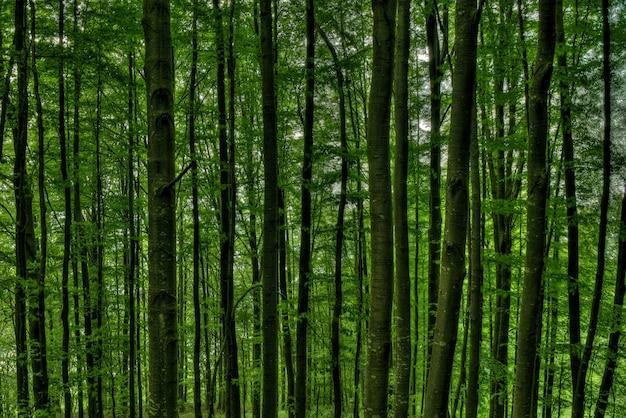 Nahaufnahmeschuss von hohen bäumen in der mitte eines grünen waldes