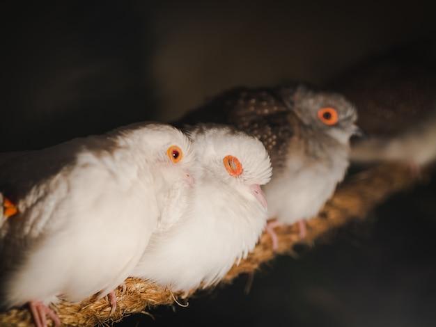 Nahaufnahmetauben sitzen auf dem seil auf unschärfehintergrund. tier, vogel, familienkonzept.