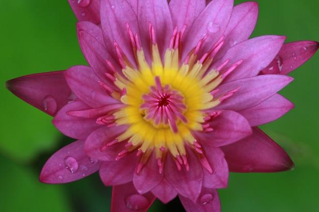 Nahaufnahmeviolette lotusblüte zeigen gelben pollen mit grünem blatt