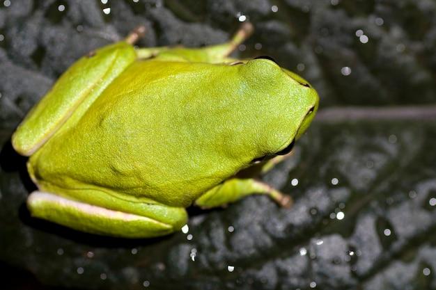 Nahe ansicht eines allgemeinen grünen europäischen baumfrosches auf ein blatt.