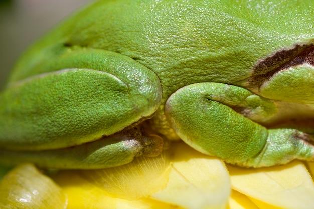 Nahe ansicht von beinen eines grünen europäischen baumfrosches.