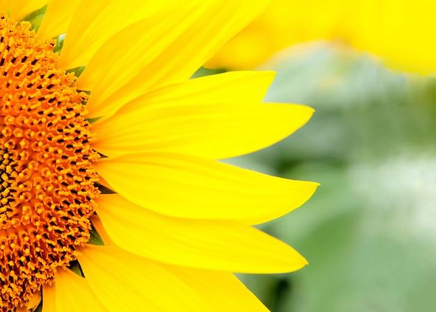 Nahe schöne sonnenblume mit einem hellen gelb