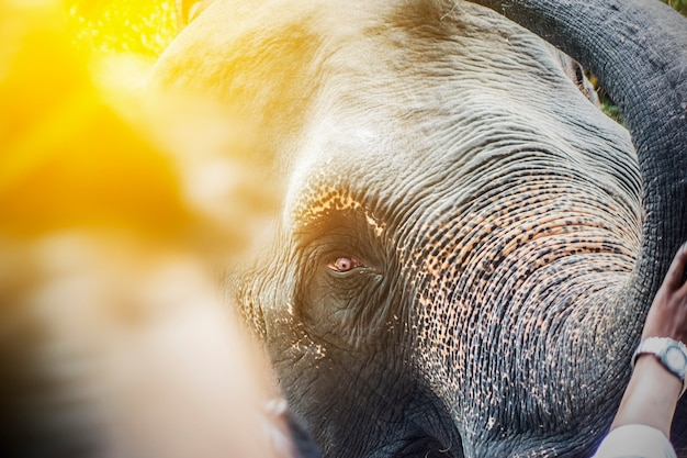 Nahes hohes des elefantkopfes