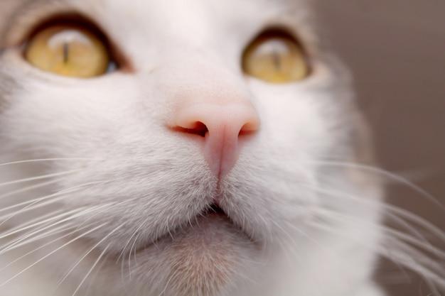 Nahes hohes foto der katzennase mit augen in der fernperspektive