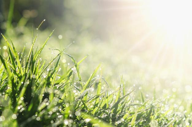 Nahes hohes frisches frühlingsgrüngras mit bokeh tautropfen- und -sonnenlichthintergrund