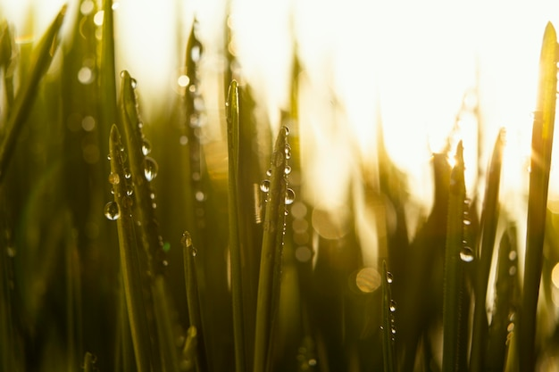 Nahes natürliches gras