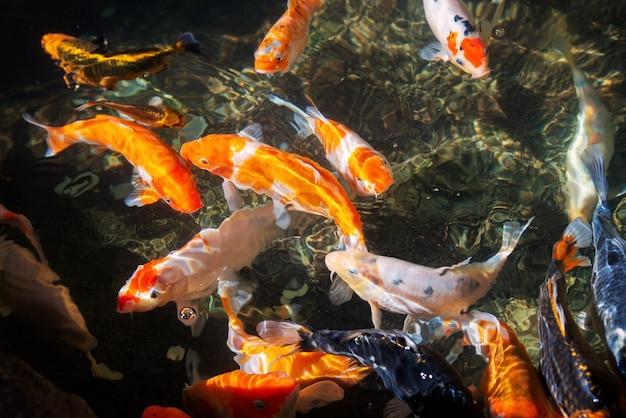 Nahtlose koi-karpfen, schöne bunte koi-fische schwimmen im teich
