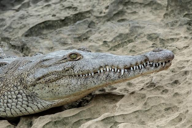 Nahwinkelaufnahme eines teils des kopfes eines krokodils, der auf sand gelegt wird