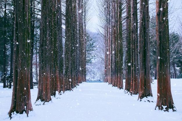 Nami-insel in korea, reihe von kiefern im winter.