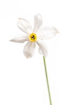 Narzissenblume lokalisiert auf weißem hintergrund. gelbe narzissen