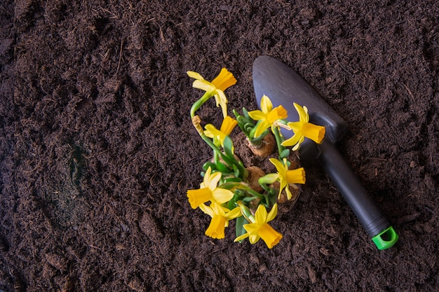 Narzissenpflanze auf gedüngtem boden