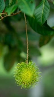 Nasarn schulrambutan ist der köstlichste rambutan in thailand