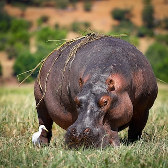 Nashörner grasen im gras