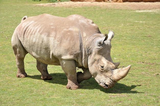 Nashorn geht durch eine wiese