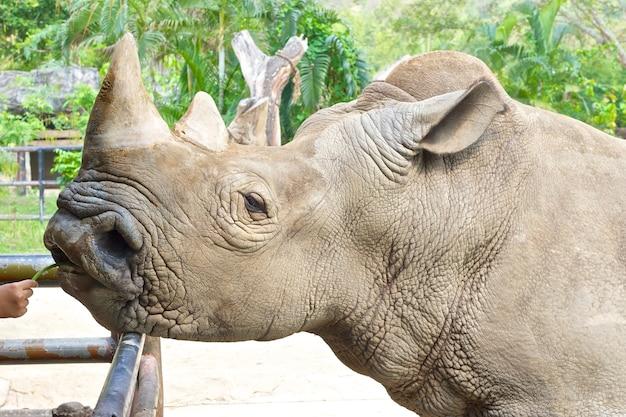 Nashorn in einem zoo von hand füttern