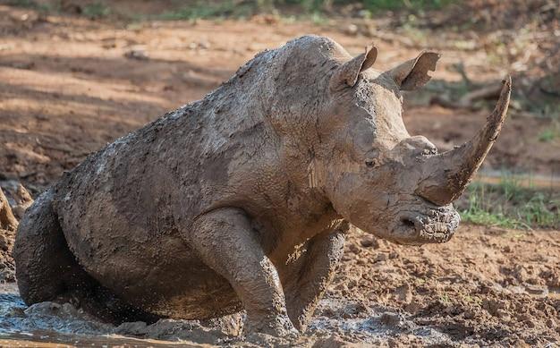 Nashorn in freier wildbahn