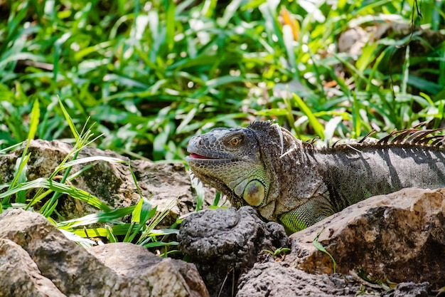 Nashorn-leguan (cyclura cornuta) in der natur