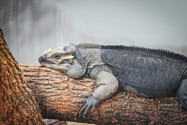 Nashorn-leguan, der auf einer niederlassung - cyclura cornuta liegt