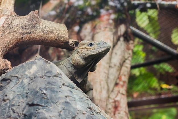 Nashorn-leguan ist ein seltenes wildes tier.
