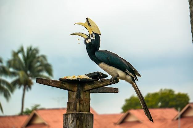 Nashorn nashornvogel sitzt auf einem baum und pickt reiskorn auf der insel pangkor, malaysia. seltener schöner vogel, der im roten buch aufgeführt ist