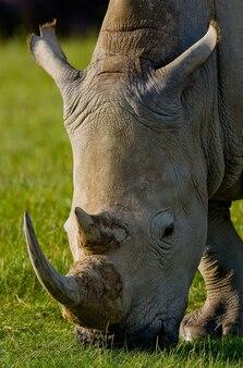 Nashorn trinkt wasser aus pfützen.