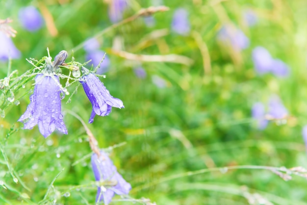 Nasse blaue blumen glockenblumen mit wassertropfen auf dem grünen feld. makroaufnahme
