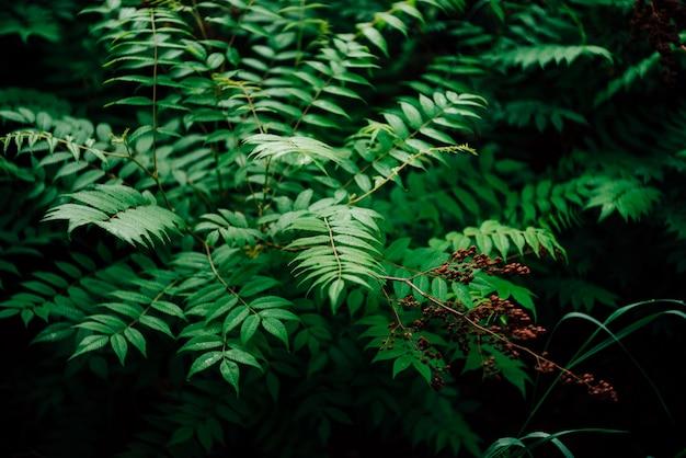Nasse grüne blätter und rötliche knospen von sorbaria sorbifolia.