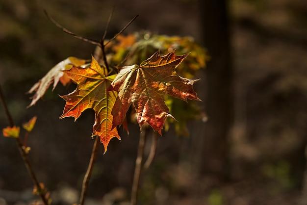 Nasse rote ahornblätter im herbst. selektiver fokus, nahaufnahme