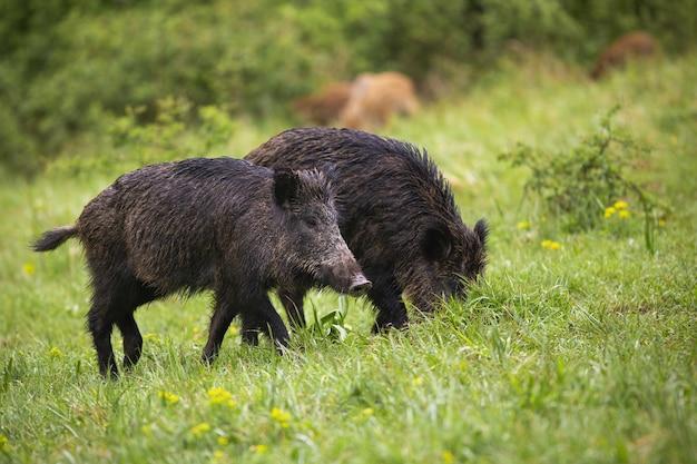 Nasse wildschweine, die auf grüner wiese in der sommernatur fressen