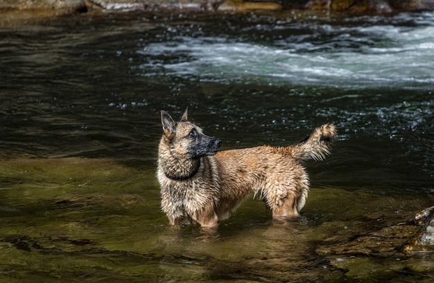 Nasser deutscher schäferhund auf einem fluss