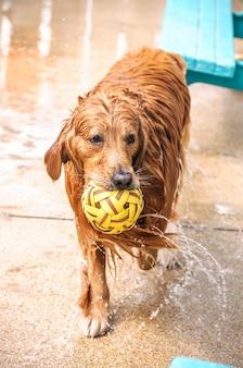 Nasser goldener apportierhund, der mit ball spielt