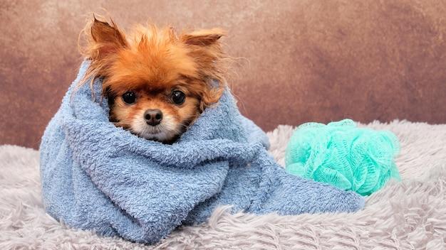 Nasser hund in einem handtuch. spitz waschen. tieren helfen.