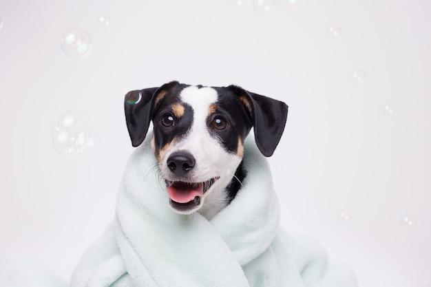 Nasser welpe von jack russell terrier nach bad in handtuch gewickelt. gerade gewaschener hund.