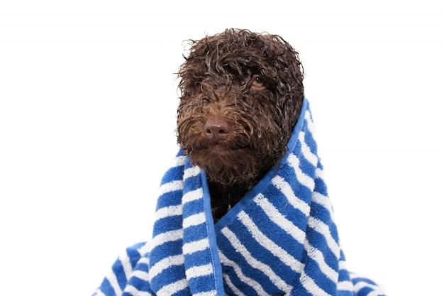 Nasses hündchen nach dem duschen oder baden mit einem gestreiften blauen handtuch umwickelt.