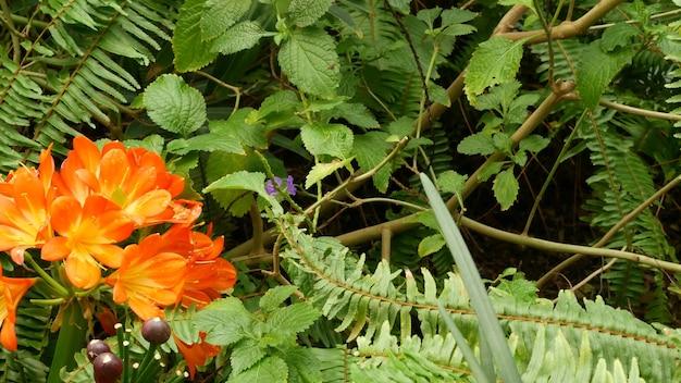 Natal busch kafir lilie blume, kalifornien, usa. clivia miniata orange extravagante exotische feurige vibrierende botanische blüte. tropische dschungel-regenwald-atmosphäre. natürlicher garten lebendiges frisches saftiges grün