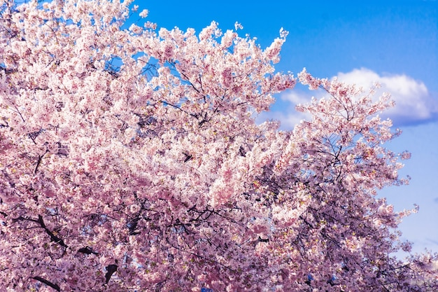 Nationale kirschblüten