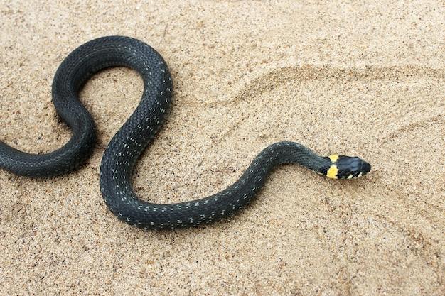 Natrix. kleine schwarze schlange kriecht durch den sand.