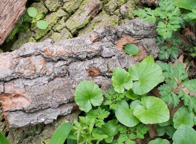 Natürliche alte baumrindenstücke mit junger grüner pflanze. frühling und neues lebenskonzept