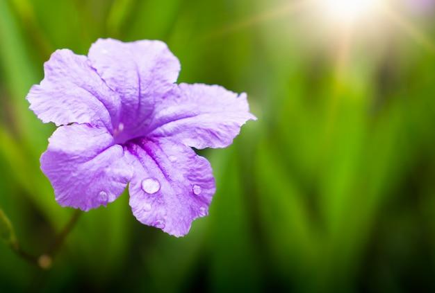 Natürliche blume mit regentröpfchen auf blumenblättern im morgenlicht, frühjahr