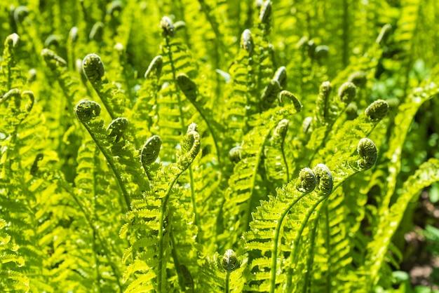 Natürliche farnblattabdeckung nahaufnahme. tropische grüne draufsicht. grünes laub mit grünem farnblatt.