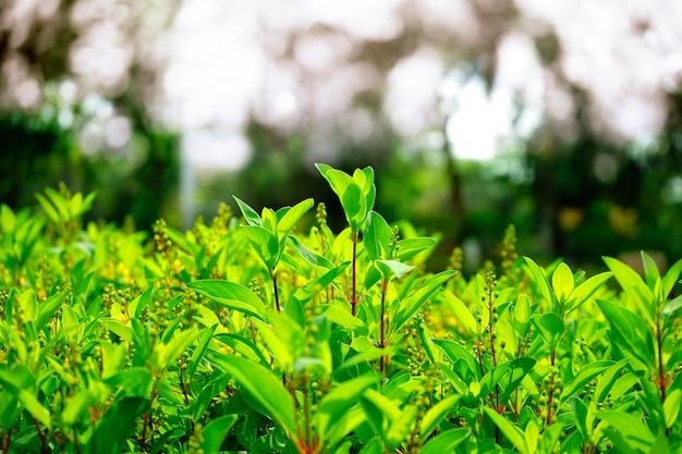 Natürliche grüne blätter mit unschärfe bokeh frühling oder sommer hintergrund.