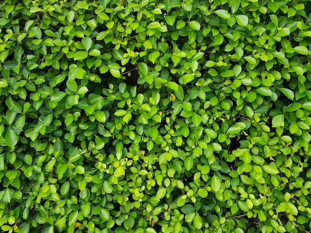 Natürliche grüne blattwand. der abstrakte hintergrund der natürlichen grünen blätter.